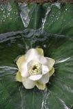 Bloeiende lotusbloem die op het het lotusbloemblad en water drijven Royalty-vrije Stock Fotografie