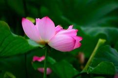 Bloeiende lotusbloem en draderige textuur Royalty-vrije Stock Fotografie
