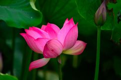 Bloeiende lotusbloem en een knop Stock Afbeeldingen