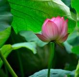 Bloeiende lotusbloem onder bladeren Royalty-vrije Stock Fotografie