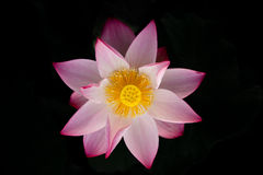 Bloeiende lotusbloembloem Royalty-vrije Stock Afbeeldingen
