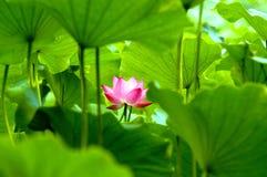 Bloeiende lotusbloembloem Stock Foto