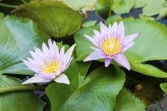 Bloeiende lotusbloembloem Royalty-vrije Stock Foto
