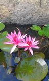 Bloeiende lotusbloembloem Royalty-vrije Stock Foto's