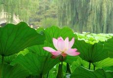 Bloeiende lotusbloembloem Royalty-vrije Stock Afbeelding