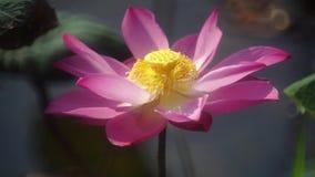 Bloeiende lotusbloembloem stock video