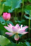 Bloeiende lotusbloembloemen Stock Foto