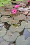 Bloeiende lotusbloembloemen die op de vijver drijven Royalty-vrije Stock Foto's