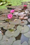 Bloeiende lotusbloembloemen die op de vijver drijven Royalty-vrije Stock Afbeelding