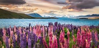 Bloeiende lupines over Meer Tekapo stock fotografie