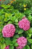Bloeiende macrophyllastruiken van de Hydrangea hortensia in tuin Royalty-vrije Stock Afbeeldingen