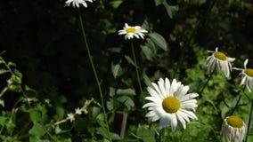 Bloeiende madeliefjes op het gazon onder het gras Royalty-vrije Stock Afbeeldingen