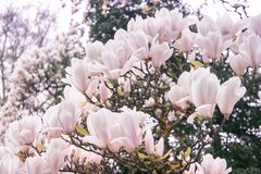 Bloeiende magnolia stock afbeeldingen