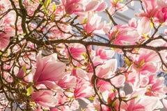 Bloeiende magnolia royalty-vrije stock foto