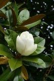 Bloeiende magnolia Stock Afbeelding