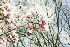 Bloeiende magnolia Een ongebruikelijke bloem royalty-vrije stock afbeelding