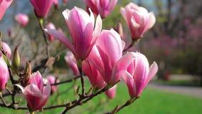 Bloeiende magnolia in het park stock videobeelden