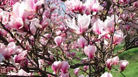 Bloeiende magnolia in het park stock video