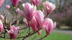 Bloeiende magnolia in het park stock footage