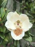 Bloeiende magnolia royalty-vrije stock afbeeldingen