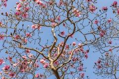 Bloeiende magnolia tegen de blauwe de lentehemel Stock Afbeeldingen