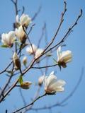 Bloeiende magnolia tegen de blauwe hemel Sluit omhoog stock afbeeldingen