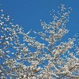 Bloeiende Magnolia tegen de hemel royalty-vrije stock afbeelding