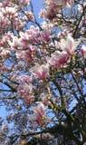 Bloeiende Magnolia Tulip Tree Chinese Magnolia x de bloesem van soulangeanamagnoliaceae met tulp-vormige bloemen royalty-vrije stock fotografie