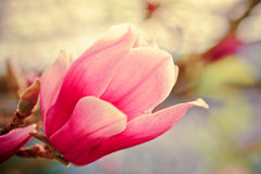 Bloeiende magnoliabloem Royalty-vrije Stock Afbeelding