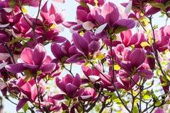 Bloeiende Magnoliabloemen Royalty-vrije Stock Afbeeldingen