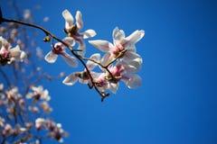 Bloeiende magnoliabloemen in springï¼ Œtwo Joe magnolia royalty-vrije stock afbeelding