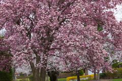Bloeiende magnoliaboom royalty-vrije stock foto