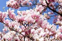 Bloeiende magnoliaboom royalty-vrije stock foto's