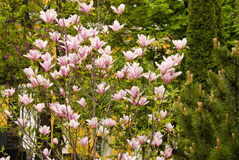 Bloeiende magnoliaboom Stock Foto's