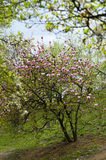 Bloeiende magnoliaboom Royalty-vrije Stock Afbeelding