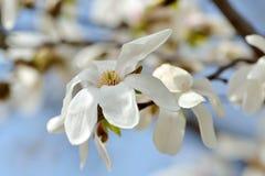 Bloeiende magnoliaboom in de lente royalty-vrije stock fotografie