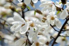 Bloeiende magnoliaboom in de lentetuin royalty-vrije stock afbeelding