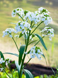 Bloeiende mierikswortel Royalty-vrije Stock Afbeelding