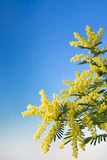 Bloeiende mimosa's royalty-vrije stock afbeelding