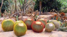 Bloeiende mooie cactus Royalty-vrije Stock Fotografie