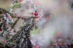 Bloeiende naaldboom Stock Afbeeldingen