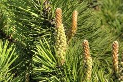 Bloeiende naaldboompijnboom royalty-vrije stock foto's