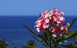 Bloeiende Oleander met roze bloemenoleander Nerium op een blauwe oceaanwater en hemelachtergrond Stock Foto