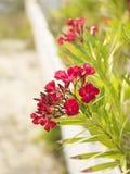 Bloeiende oleanderstruik. Stock Afbeeldingen