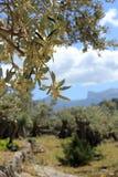 Bloeiende olijfboom Stock Foto