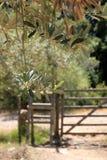 Bloeiende olijfboom Stock Afbeelding