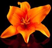 Bloeiende oranje bloem Royalty-vrije Stock Afbeeldingen