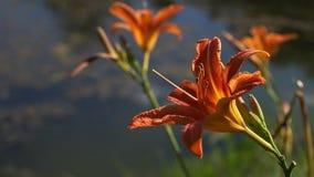 Bloeiende Oranje Leliebloemen in het stadspark stock videobeelden
