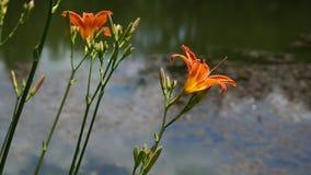 Bloeiende Oranje Leliebloemen in het stadspark stock video