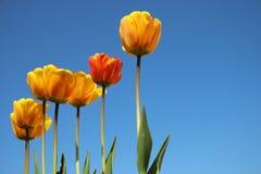 Bloeiende oranje tulpen stock afbeelding